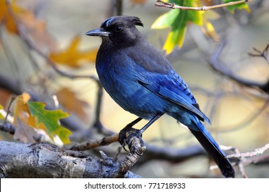 Colorful blue Steller's Jay perched on branch of tree during Autumn season.