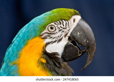 colorful blue and yellow macaw parrot head
