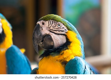 Colorful blue and yellow parrot macaw Ara ararauna