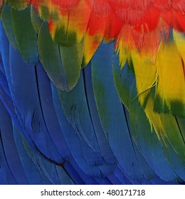 Colorful of blue yellow and red feathers of Scarlet macaw parrot bird