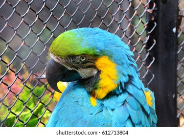 Colorful  blue-and-gold Macaw Parrot (Ara ararauna) behind zoo fence