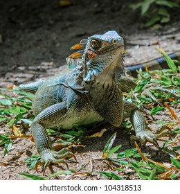 colorful bluish green iguana in Panama