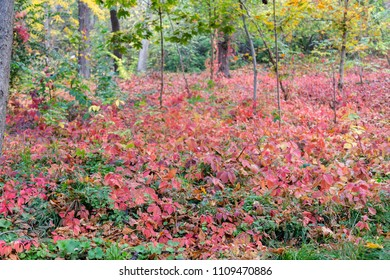 Colorful Boston Ivy in the Forest. Red and green and orange leaves in autumn framing. There is focus in a foreground and background is blured.