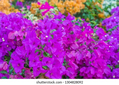 Colorful bougainvillea flowers in the garden for floral background.