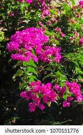 Colorful bougainvillea flowers on a bush