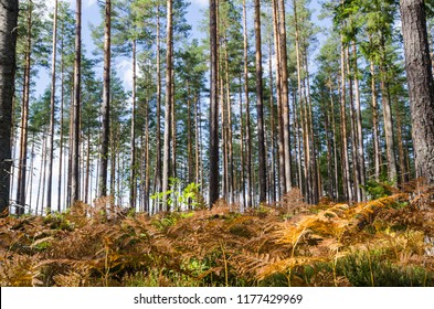 Colorful bracken by fall season in a bright pine tree forest