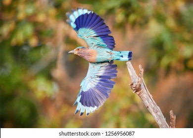 Colorful, bright blue-green tropical bird, Indian Roller,  Coracias benghalensis with fully outstretched wings against blurred green background. Wildlife photography, Anuradhapura, Sri Lanka.