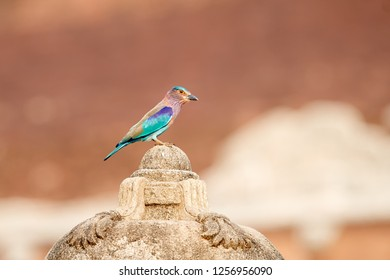 Colorful, bright blue-green tropical bird, Indian Roller,  Coracias benghalensis among stone ruins of Anuradhapura ancient city. Low angle, golden hour wildlife photography, Anuradhapura, Sri Lanka.