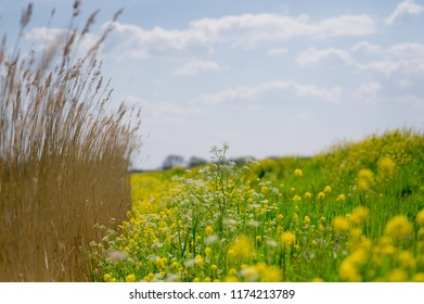 A Colorful bright cheerful optimistic jubilant meadow in summer with yellow flowers, grass and reed in The Netherlands  (Medium format high resolution)