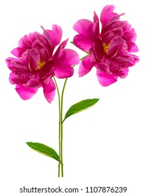 Colorful bright flower peony isolated on white background.