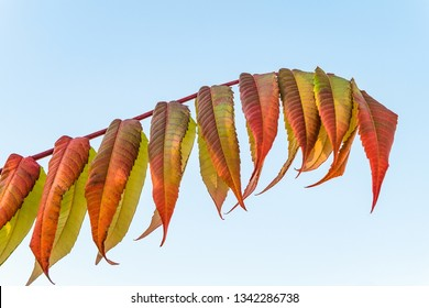 Colorful bright sumac leaves at autumn time. Sumac branch on a blue sky background.