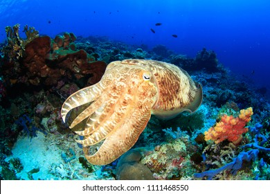 Colorful Broadclub Cuttlefish on a vibrant reef – seen scuba diving in Komodo National Park, Indonesia