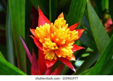 colorful bromelia