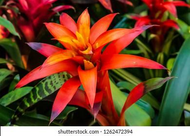 Colorful Bromeliad Flower