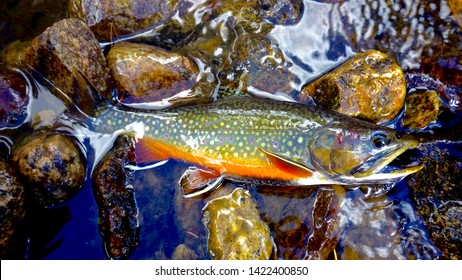 Colorful Brook Trout on Stream / River Rocks on Autumn / Fall Day