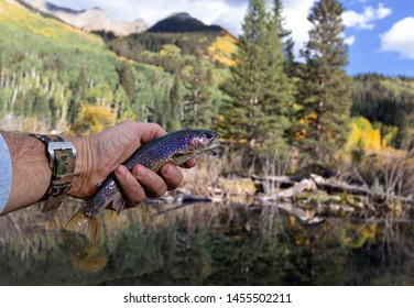 Colorful Brooke Trout Caught & Released Fly Fishing In a Colorado Beaver pond Near Telluride