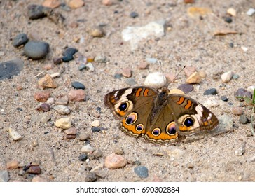 Colorful Buckeye Butterfly on Gravel