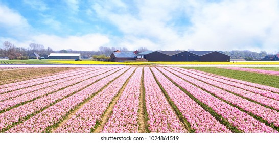 Colorful bulb field of pink hyacinths and yellow daffodils near Egmond in the North of Holland.