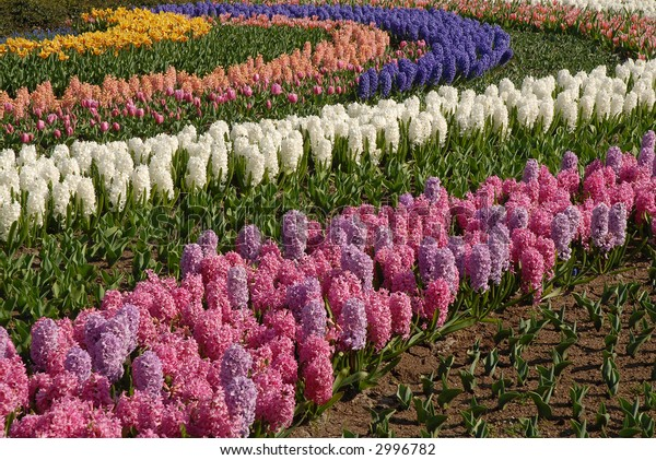 colorful bulb spring flowers in the 'keukenhof' in holland