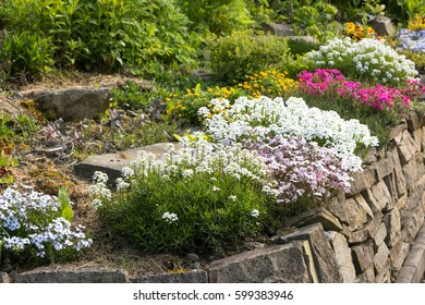 colorful bunch of blooming flowers like potentilla, carnation or phlox on natural stone wall in spting countryside garden
