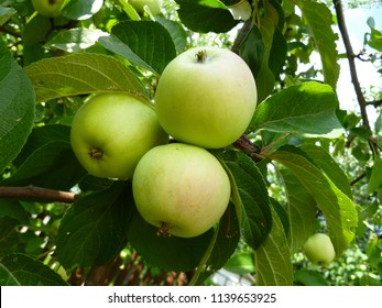 Colorful bunch of green apples on a tree branch ready to be harvested. Organic fresh apples hanging from a tree branch