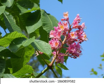 Colorful bunches on blooming chestnut tree