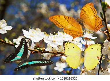 Colorful butterflies and blooming cherry tree as spring season theme