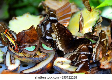 colorful butterflies eating fruit