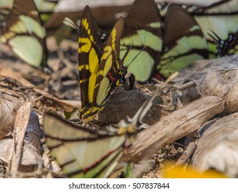 Colorful butterflies on a bank of the river in the Amazon jungle.
