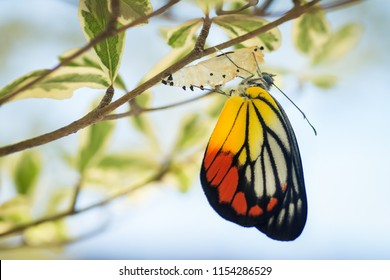 Colorful butterfly emerge from its cocoon