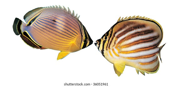 Colorful butterfly fishes isolated on white background