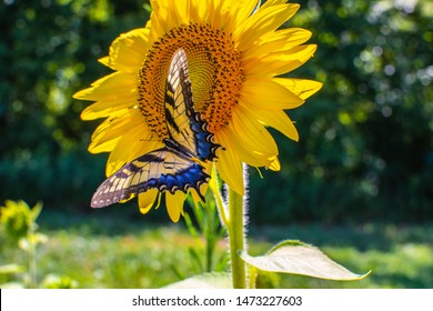 A colorful butterfly on a sunflower.