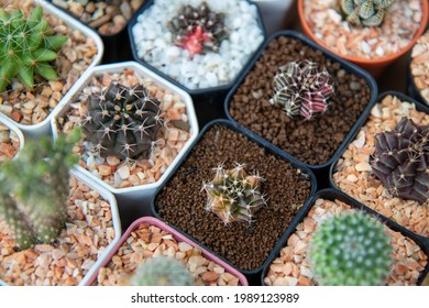 Colorful cactus on small pot. Gymnocalysium.