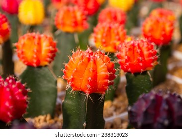 colorful cactus.,A close up image of rows of cute colorful miniature cactus.