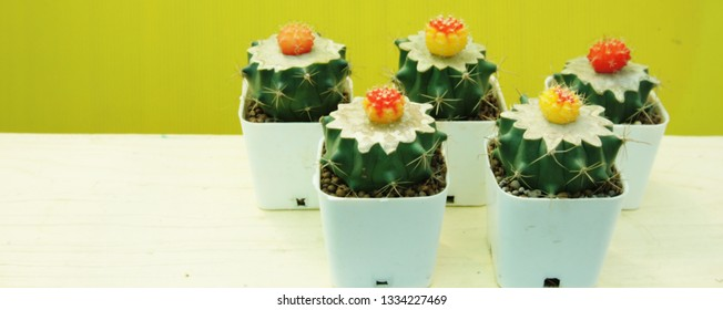 Colorful cactus,strange shape succulent in white pot on with bright background