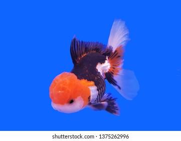 Oranda Goldfish Images, Stock Photos & Vectors | Shutterstock