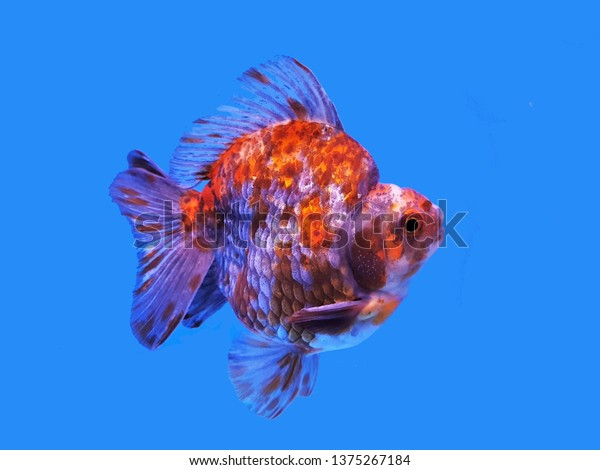 Colorful Calico Ryukin Goldfish On Isolated The Arts