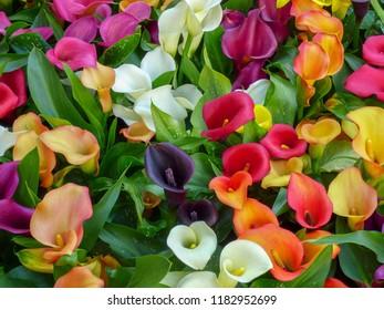 Colorful calla lilies