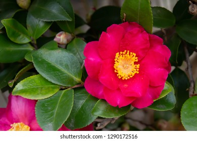 A colorful Camellia sasanqua flower