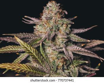 Colorful Cannabis Grow