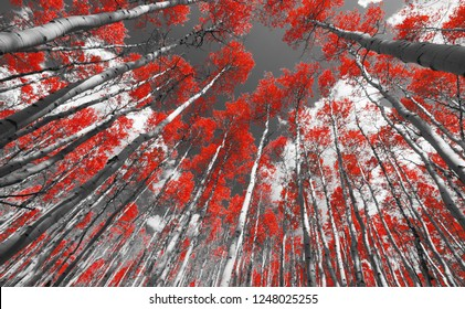 Colorful canopy of red fall leaves in a black and white aspen forest landscape scene