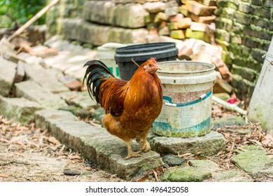 A colorful caponized cock in the farm