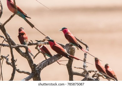 Colorful carmine bee eater birds in Zambia's South Luangwa Valley.