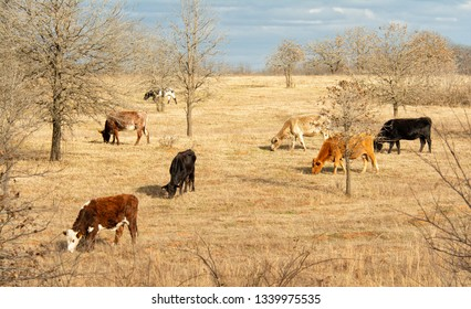 Colorful cattle grazing on a sunny hillside pasture in late winter