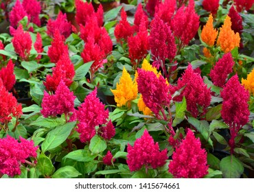 Colorful Celosia argentea flowers in the garden of Tenerife,Canary Islands, Spain. Blooming Cockscomb plants.Bright natural floral background.Selective focus.