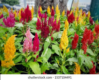 The colorful celosia or cockcomb flowers in the garden, A colorful flowering plants background.