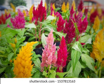 The colorful celosia or cockcomb flowers in the garden. A colorful flowering plants background.