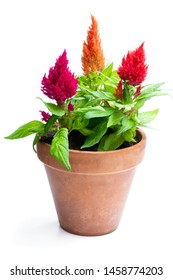Colorful  celosia plants in flower pot isolated on white.