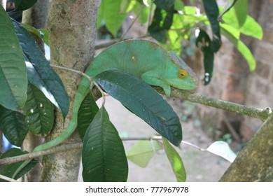 colorful chamaeleon in madagascar
