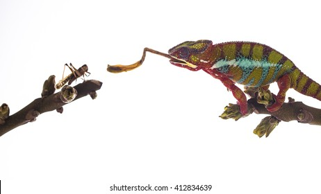 Colorful chameleon on the top of the branch catching and subsequently eating large insect species on the white background. Close up illustration photography.